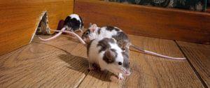 muizenbestrijding maasrticht