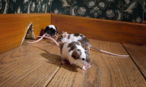 muizen over de vloer