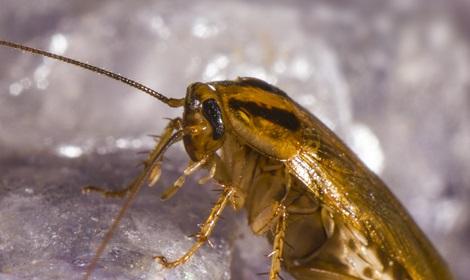 kakkerlak in huis